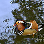 Mandarin Duck 04 Print by Arik Baltinester