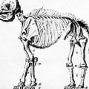 Mastodon Skeleton Drawing Print by Science Source