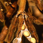 Mature Soybeans Print by Science Source