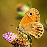 Meadow Brown Butterfly  Print by Elena Elisseeva