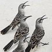 Mockingbirds Mimidae Galapagos, Equador Print by Keith Levit