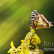 Monarch Butterfly Print by Carlos Caetano