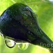 Morning Dew Figs Print by Karen Wiles
