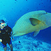 Napoleon Wrasse And Diver Print by Matthew Oldfield