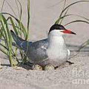Nesting Common Tern Print by Clarence Holmes