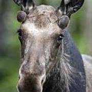 One Year Old Bull Moose With Growing Print by Philippe Henry