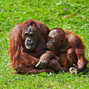 Orangutan Mother And Child Print by Gabriela Insuratelu