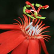 Passiflora Vitifolia - Scarlet Red Passion Flower Print by Sharon Mau
