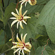 Passionflower Print by Archie Young