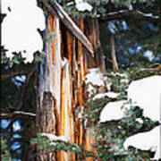 Pine Bark Print by Lisa  Spencer
