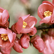 Pink Blossom Print by Y. Deshayes - Photography