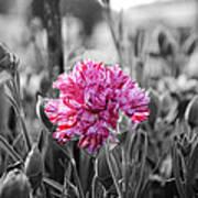 Pink Carnation Print by Sumit Mehndiratta