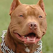 Pitbull Red Nose Dog Portrait Print by Waldek Dabrowski
