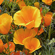 Poppies (eschscholzia Californica) Print by Tony Craddock