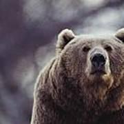 Portrait Of A Kodiak Brown Bear Print by Joel Sartore