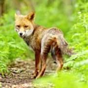 Portrait Of Fox Print by Gary Chalker