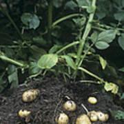 Potatoes (solanum Tuberosum 'charlotte') Print by Maxine Adcock