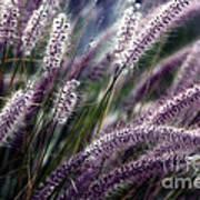 Purple Ornamental Fall Grass Print by Marjorie Imbeau