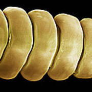 Rattlesnake Rattle, Sem Print by Steve Gschmeissner