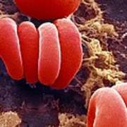 Red Blood Cells, Sem Print by Ami Images