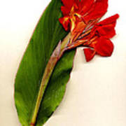 Red Canna Print by JDon Cook
