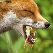 Red Fox Eating A Chick Print by Duncan Shaw