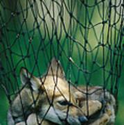 Red Fox Vulpes Vulpes In A Soft Trap Print by Joel Sartore