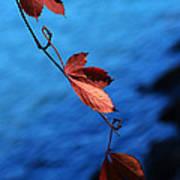 Red Maple Leaves Print by Paul Ge