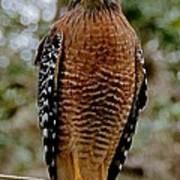 Red Shouldered Hawk Print by John Black