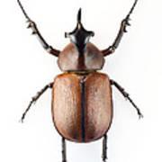 Rhinoceros Beetle Print by Lawrence Lawry