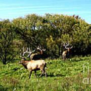 Roaming Elk  Print by The Kepharts