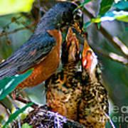 Robin Feeding Young 2 Print by Terry Elniski