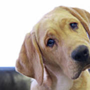 Sad Looking Yellow Lab With Head Tilted On Chair Print by Back in the Pack dog portraits