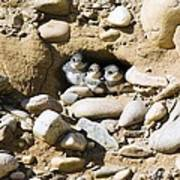 Sand Martins Print by Duncan Shaw