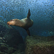 Sea Lion Chasing A School Of Bait Fish Print by Todd Winner