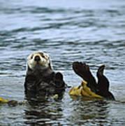 Sea Otter Enhydra Lutris Wrapped Print by Konrad Wothe