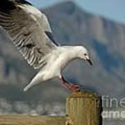 Seagull Landing On Pole Print by Sami Sarkis