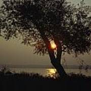 Silhouette Of Willow Tree At Sunset Print by Al Petteway