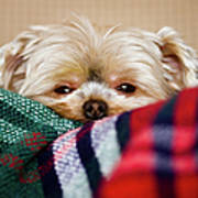Sleepy Puppy In Blanket Print by Gregory Ferguson