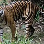 Snarling Tiger Print by Brendan Reals