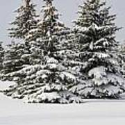 Snow Covered Evergreen Trees Calgary Print by Michael Interisano