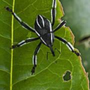 Spider Weevil Papua New Guinea Print by Piotr Naskrecki