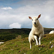 Spring Lamb On Hillside Print by Kevin Day