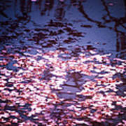 Spring's Embers - Cherry Blossom Petals On The Surface Of A Pond Print by Vivienne Gucwa