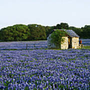 Stone Shed In Field Of Bluebonnets Print by Jeremy Woodhouse