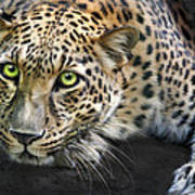 Sundari Print by Big Cat Rescue