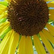 Sunflower-two Print by Todd Sherlock