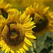 Sunflowers Print by Lisa Moore