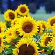 Sunflowers Print by Paul Ward