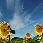 Sunflowers Print by Robin Wilson Photography